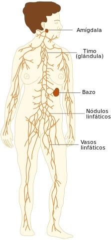 mapa del sistema linfatico