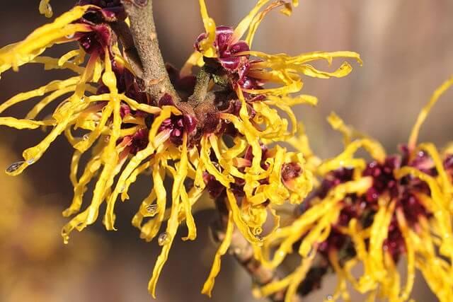 flor de hamamelis