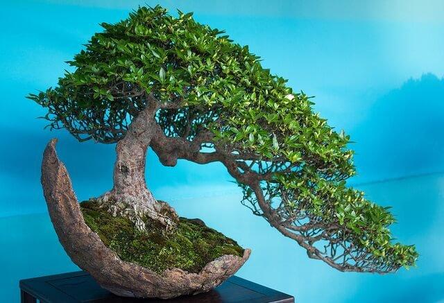 bonsai con fondo azul