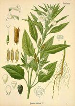 El sésamo (Sesassum indicum).