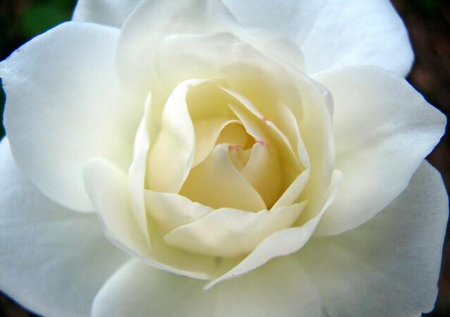 el interior de una rosa blanca