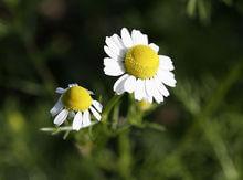 manzanilla-flores