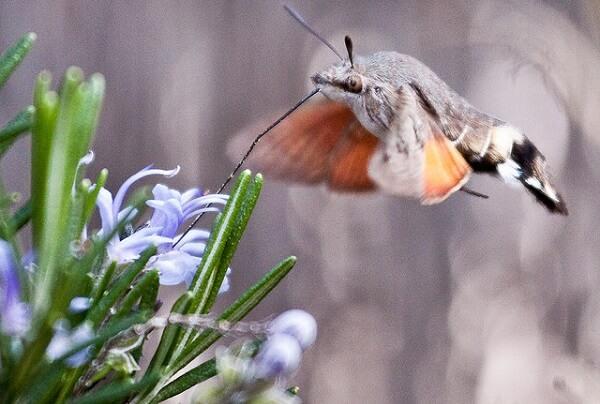 flores de romero y una esfinge colibrí