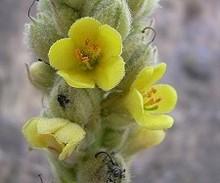 Flores del Gordolobo