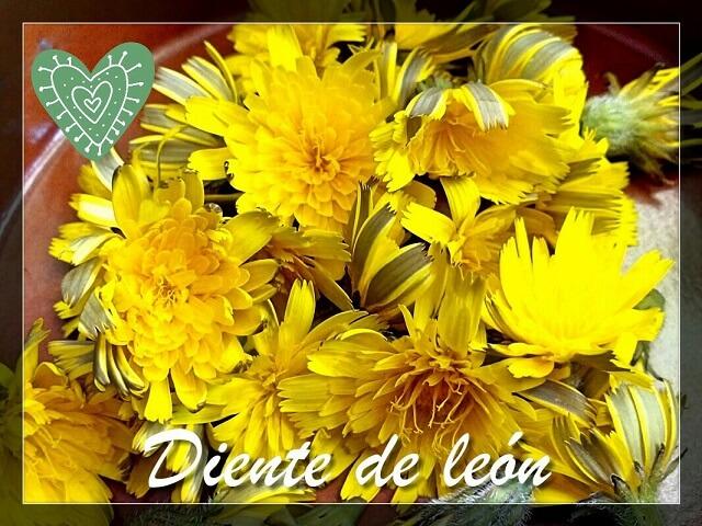 Diente de león (Taraxacum dens leonis desfontaines, leontodon taraxacum y Taraxacum officinale weber). Usos medicinales,