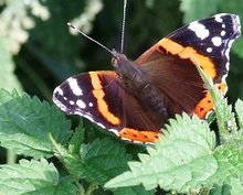 La mariposa en la ortiga
