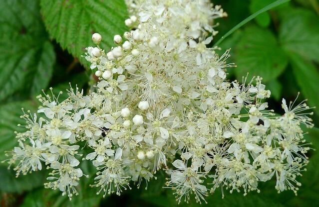 Ulmaria (Spiraea ulmaria, Filipéndula ulmaria). Propiedades medicinales.