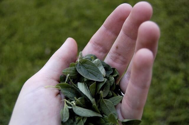 Orégano (Origanum vulgare). Usos y beneficios.