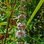 Poleo (Mentha pulegium). Propiedades medicinales.