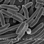 La flora bacteriana en el aparato digestivo.