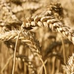 ¿Por que aumentan las intolerancias al trigo?