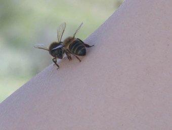 abeja usada en apiterapia