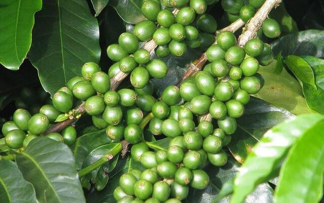 cafe verde en la rama