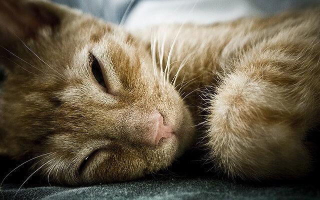 gato tumbado medio despierto