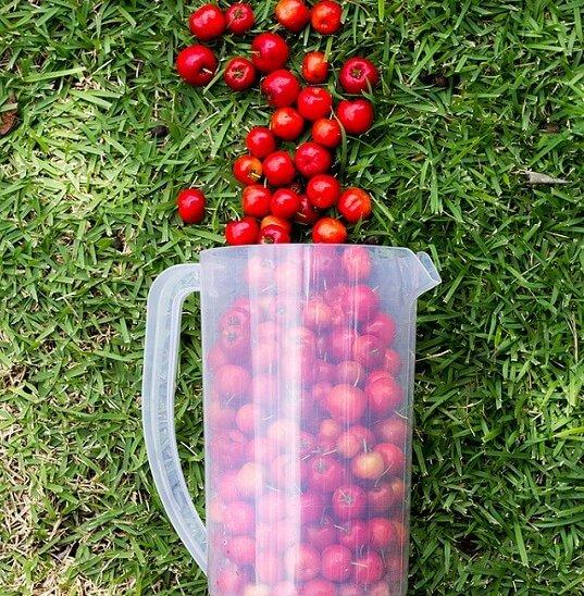 frutos de acerola en un jarra tumbada en el cesped