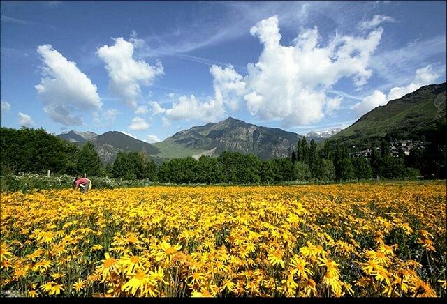 campos de arnica en el Pirineo