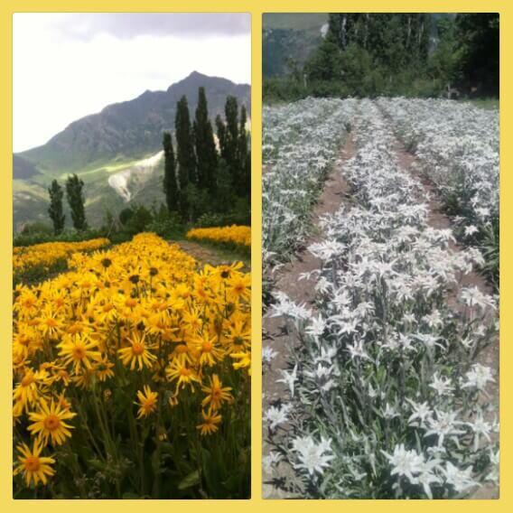 cultivo de árnica y edelweiss en el Pirineo