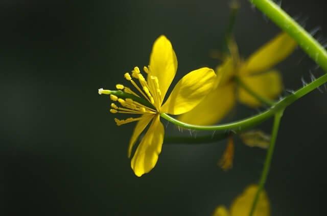 flor de celidonia