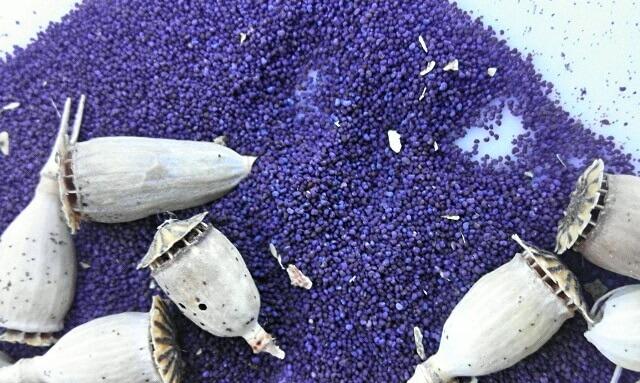 Beneficios de las semillas de amapola y cómo recolectarlas